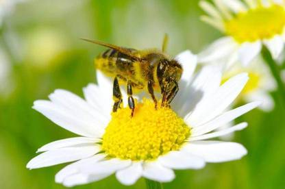 Pollinators such as bees help plants to produce fruit and seeds.