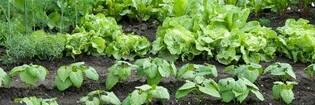 11jan growingvegetables hero default